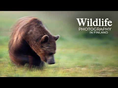Wildlife Photography - WOLVES and BEARS part 2 | Behind the scenes in the photo hide
