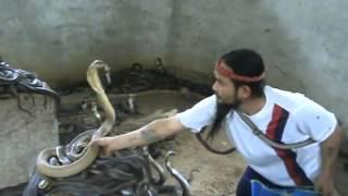 Man Selecting Cobras For Snake Show