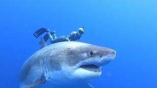 Surprising encounter with 'Deep Blue' shark off Hawaii
