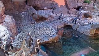 Georgia Aquarium - African Penguin Cam