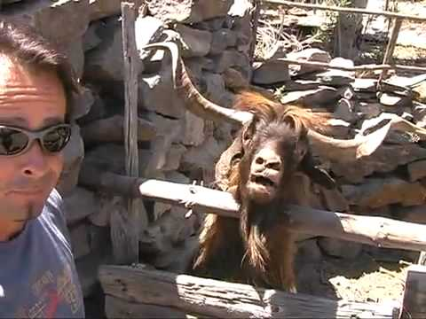Man argues with spitting ibex