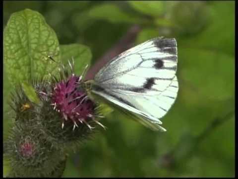 Green veined White female