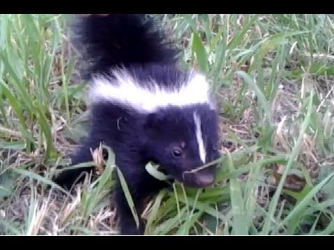 Baby Skunk Friend!!