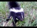 Download Youtube: Baby Skunk Friend!! (ORIGINAL)