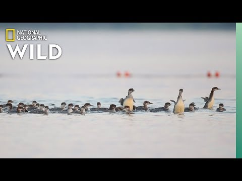 , title : 'Why This Mama Duck Has Her Ducklings in a Row—All 76 of Them   Nat Geo Wild
