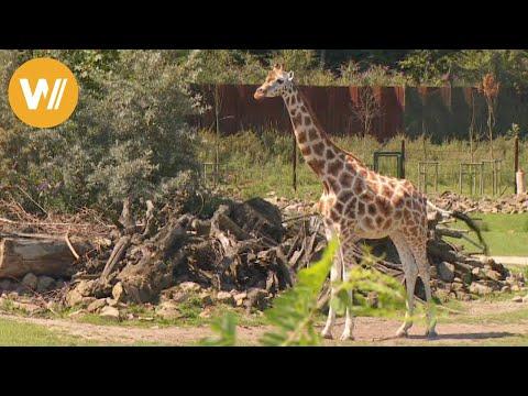 Giraffe | Unsere Tierwelt (Kurze Tierdokumentation)