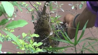 Easy Steps to remove Beehive from House (Without any Safety) (Real Stunt) (Hindi)