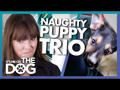 Victoria Stilwell Reacts to Three Very Naughty Puppies!   It's Me or ...