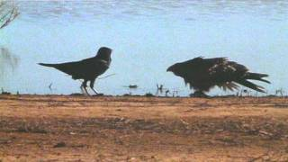 Crow vs Hawk