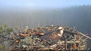 Osprey Sings herself to sleep