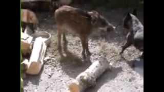 preview picture of video 'Bébé cochon en action'