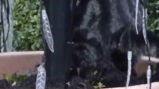 Katze Mimi – Weihnachtsbaum Check - dann darunter gekackt