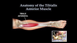 Anatomy Of The Tibialis Anterior Muscle - Everything You Need To Know - Dr. Nabil Ebraheim