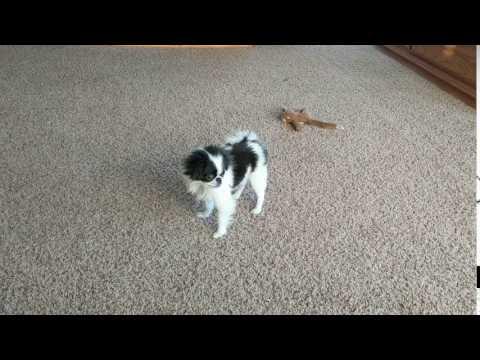 Little Roxy from Woita Ranch Japanese Chins, LLC