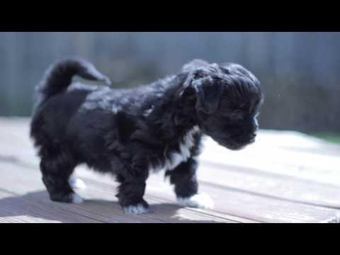 Kova- AKC Havanese Puppy