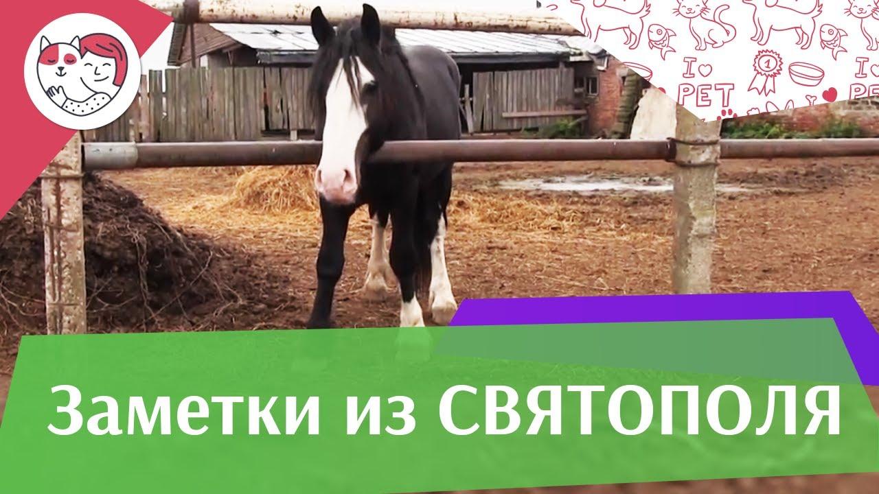 ЗАМЕТКИ ИЗ СВЯТОПОЛЯ выпуск 4 Конь породы шайр ilikepet