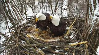 Decorah Eagles 2-11-19, 12:30 pm Mom grabs grasses from the farm