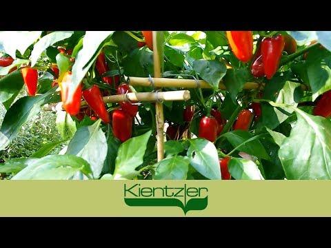 Paprika anbauen auf Balkon, Terrasse und im Garten-Gewächshaus
