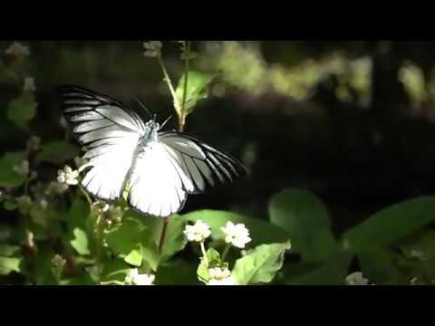 Entopiaで見られるシロチョウ Pieridae butterflies of Entopia