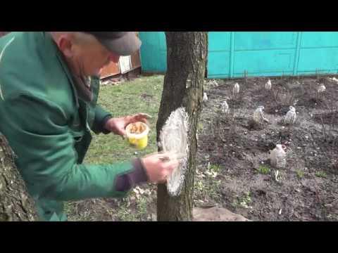 Кора деревьев - лечение ран