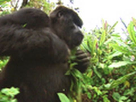 Survival Guide: Gorilla Attack   National Geographic