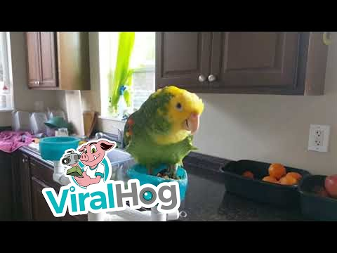 chick-e-poo-sings-opera