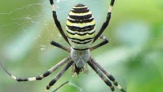 Osasti pajek