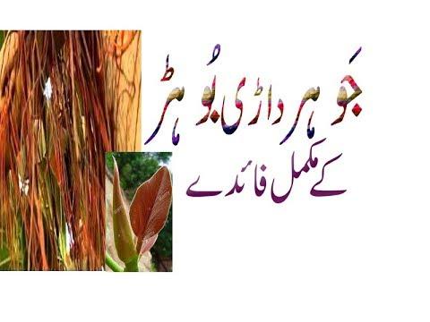 Banjh Pan Aur Hamal Tehrana Ka Liye Safoof Bargad Ka Istemal