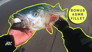 We Called it! Predicting our big striped bass surf catch- Bonus ASMR Fish Fillet