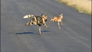 Wild Dog Pack Catches Impala Lamb