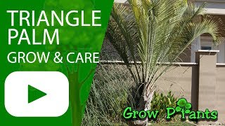 Triangle Palm - grow and care