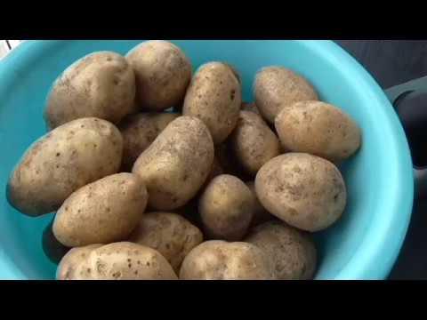 Картофель сорт ТУЛЕЕВСКИЙ, описание, опыт выращивания.