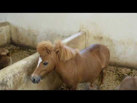 الفرس القزم _ pony