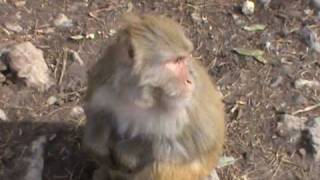 preview picture of video 'Murree, Ayubia : Monkeys at Monkey Point'