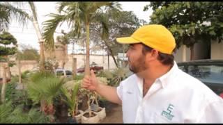 Jardinería: Palma Kerpi
