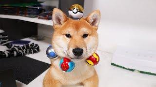 Shiba Puppy Opens some Poké Balls - (Special 02)