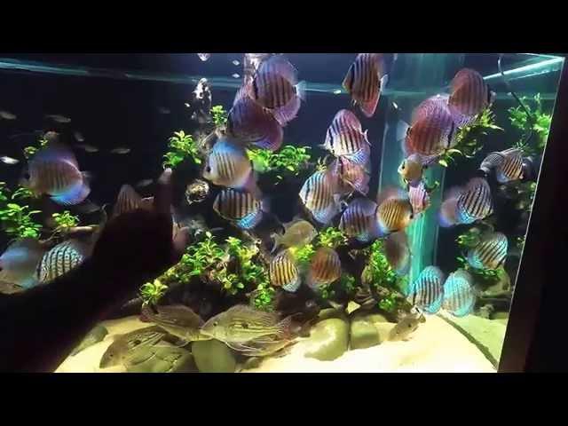 GoPro Underwater video!!! 600g Planted Discus Tank