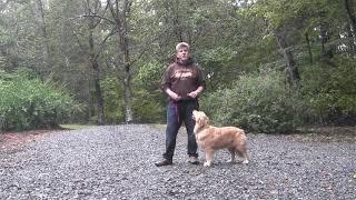 Golden Retriever Puppy Training - Winston Salem NC - Annie
