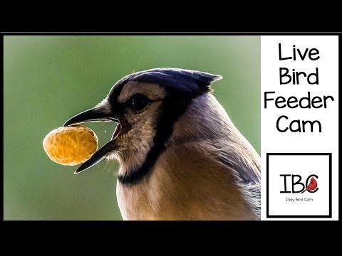 Indy Bird Cam - Live Bird Feeder Cam