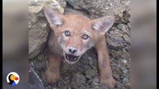 SCARED Coyote Trapped in COLLAPSED DEN Can't Wait To Be Free | The Dodo