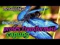 wow cara capung bertransformasi perjalanan metamorfosis capung