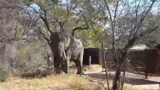 There is an Elephant in camp! | Peaceful visitors