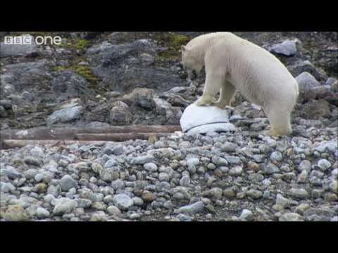 דובי הקוטב לא נשארים אדישים למצלמה