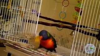 Rainbow Lorikeet playing in cage ♥