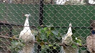 preview picture of video 'saw many PEACOCK in kolkata zoo'