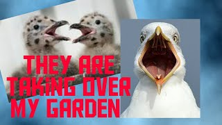 Raising Baby Seagulls who fell out of their nest    Birds and their Lifestyle. 3-4 weeks old.