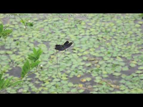 チョウトンボの飛翔 Rhyothemis fuliginosa
