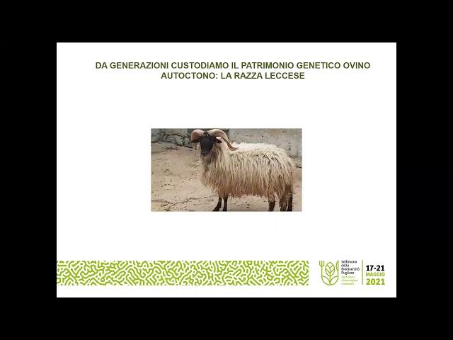 L'allevamento di ovini di razza Leccese presso la Masseria San Giovanni a Massafra