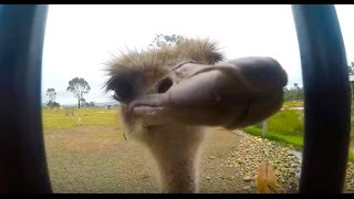 Ostrich Close Up using GoPro 5