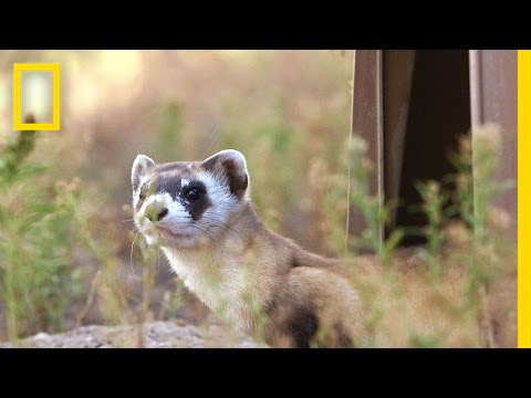 Releasing Ferrets Into Their Prairie Home | National Geographic thumbnail